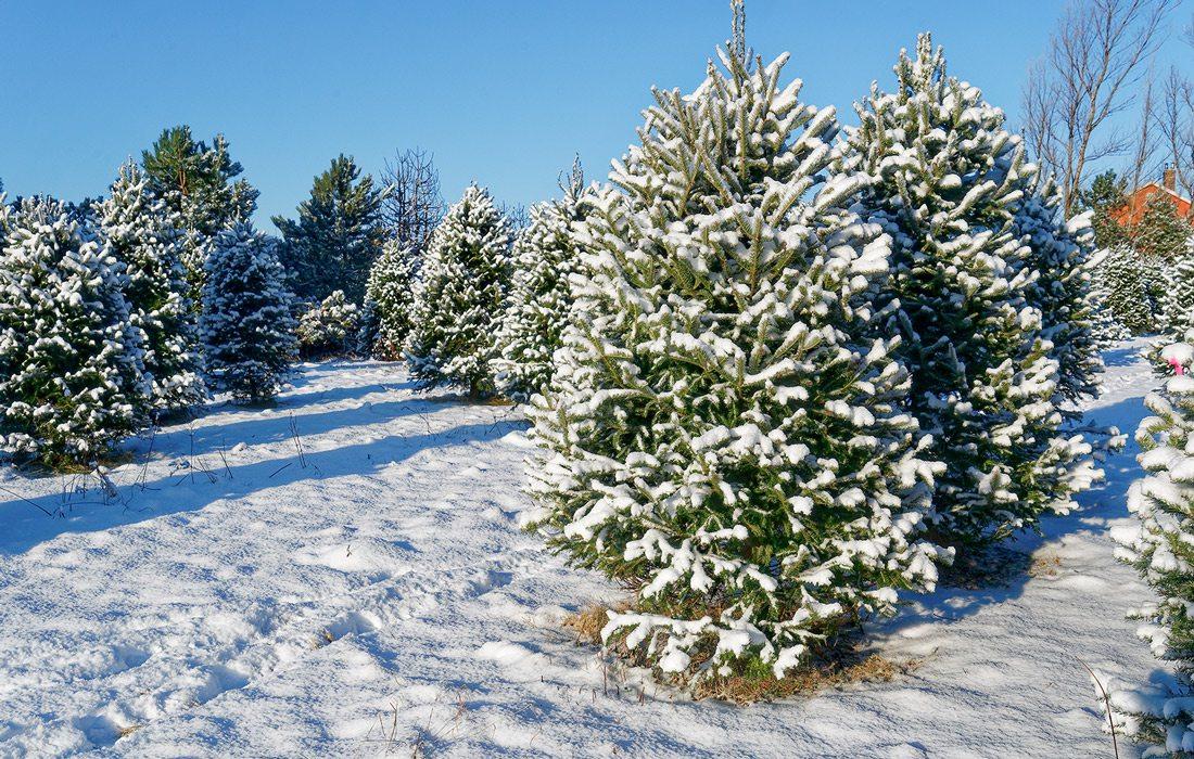 Christmas Tree Farm Choose Your Own Tree